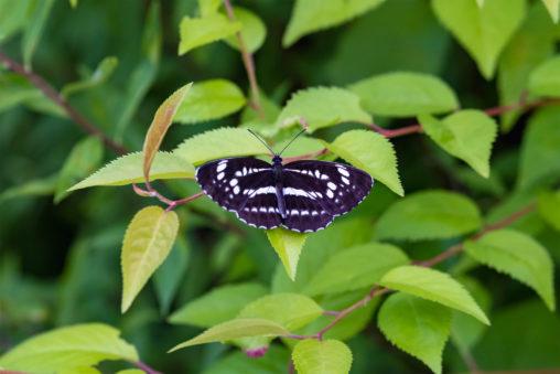 オオミスジ(蝶々)03のフリー写真素材