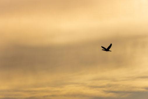 夕焼けと鳥のシルエットのフリー写真素材