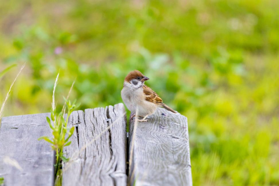 木のベンチにとまっているスズメ(雀)のフリー写真素材