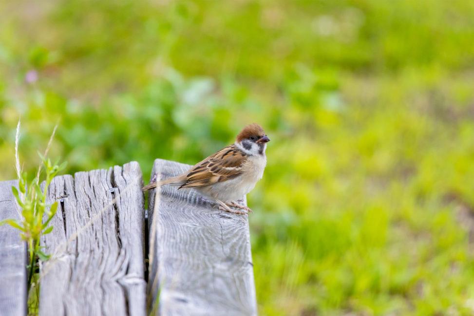 木のベンチにとまっているスズメ(雀)02のフリー写真素材