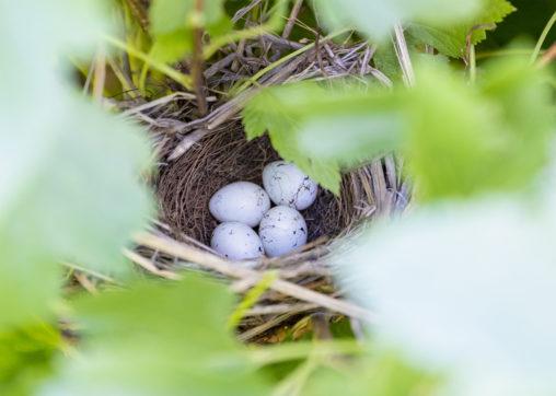 鳥の巣にある卵のフリー写真素材