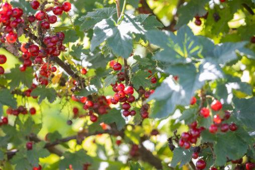 赤スグリ/レッドカラント/グロゼイユのフリー写真素材