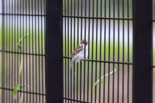 フェンスにとまるスズメ(雀)のフリー写真素材