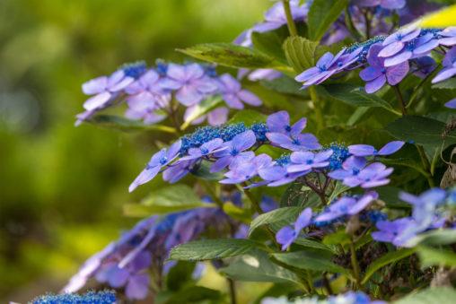 ガクアジサイ(額紫陽花)のフリー写真素材