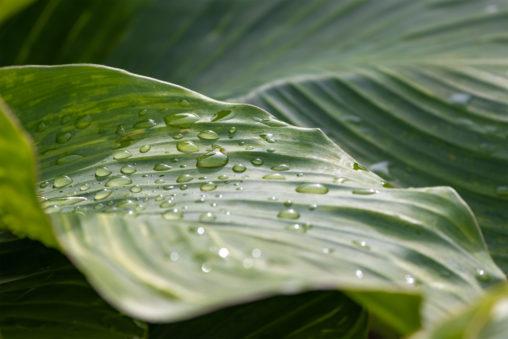 雨上がりの葉の雫のフリー写真素材