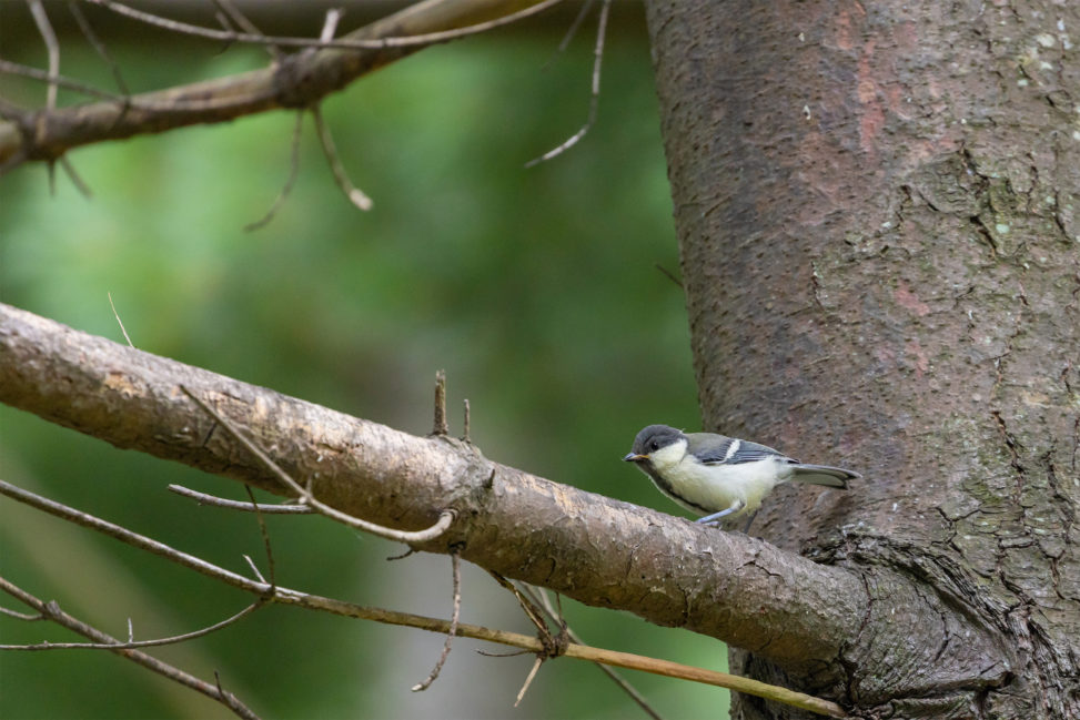 木の枝にいるシジュウカラの幼鳥のフリー写真素材