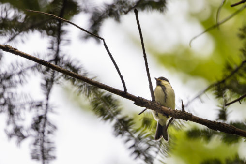 シジュウカラの幼鳥のフリー写真素材
