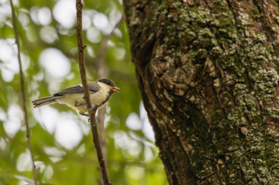 口をあけているシジュウカラの幼鳥のフリー写真素材