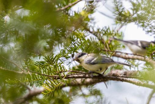枝にとまっているシジュウカラの幼鳥のフリー写真素材