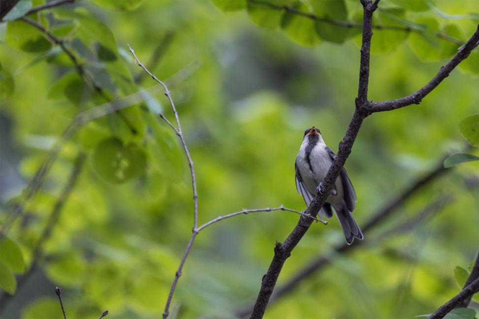 森の中のシジュウカラの幼鳥のフリー写真素材