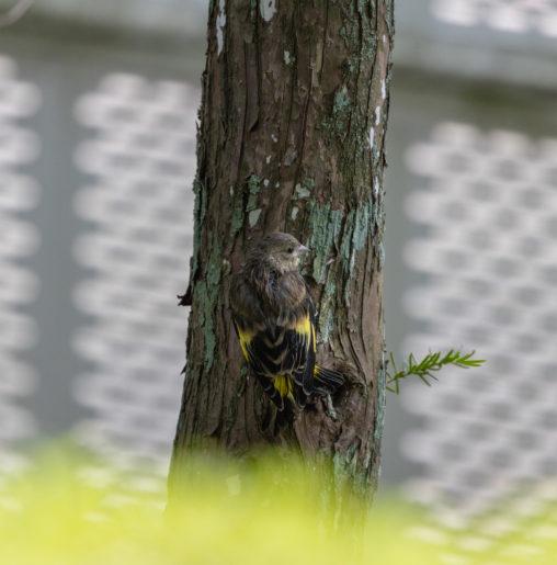 木にとまっているカワラヒワの幼鳥のフリー写真素材