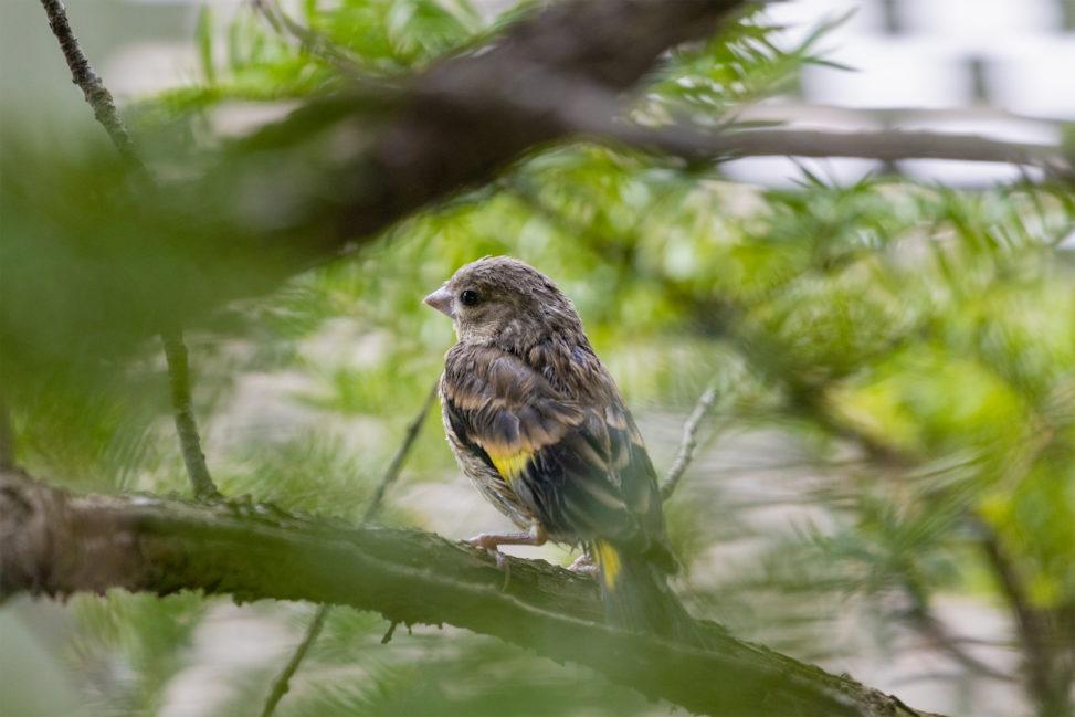 枝にとまるカワラヒワの幼鳥のフリー写真素材