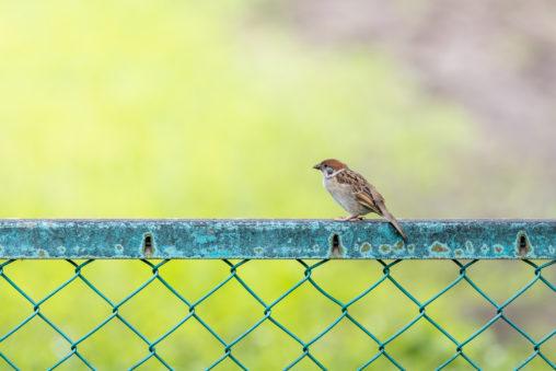 フェンスとスズメ(雀)のフリー写真素材