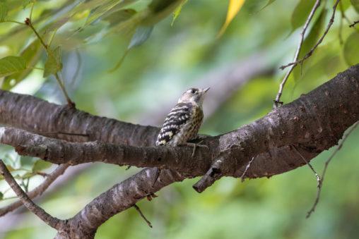 枝にとまるコゲラのフリー写真素材