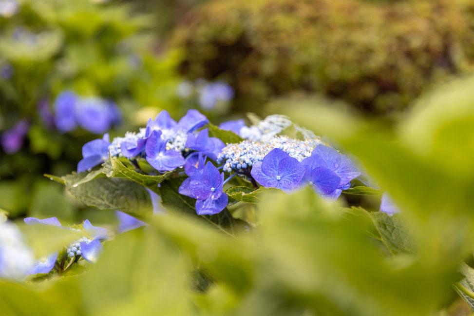雨の日のガクアジサイ(額紫陽花)のフリー写真素材