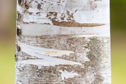 アップの白樺(シラカンバ)のフリー写真素材