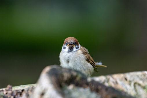 正面を向いているスズメ(雀)のフリー写真素材