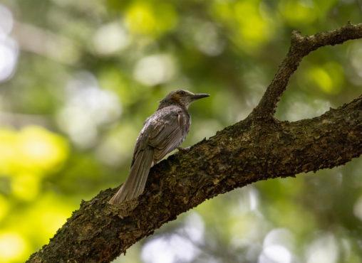 枝にとまるヒヨドリのフリー写真素材