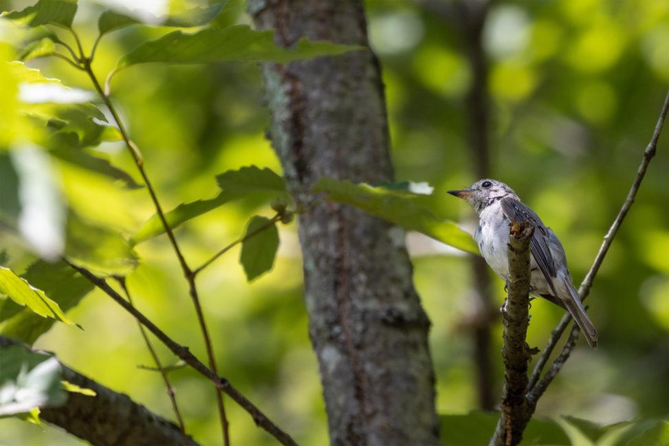 森の中のコサメビタキの幼鳥のフリー写真素材