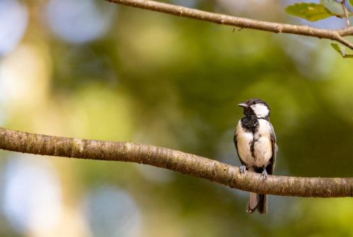 枝にとまっているシジュウカラの幼鳥02のフリー写真素材