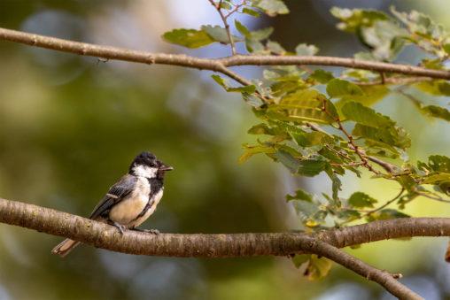 枝にとまっているシジュウカラの幼鳥03のフリー写真素材