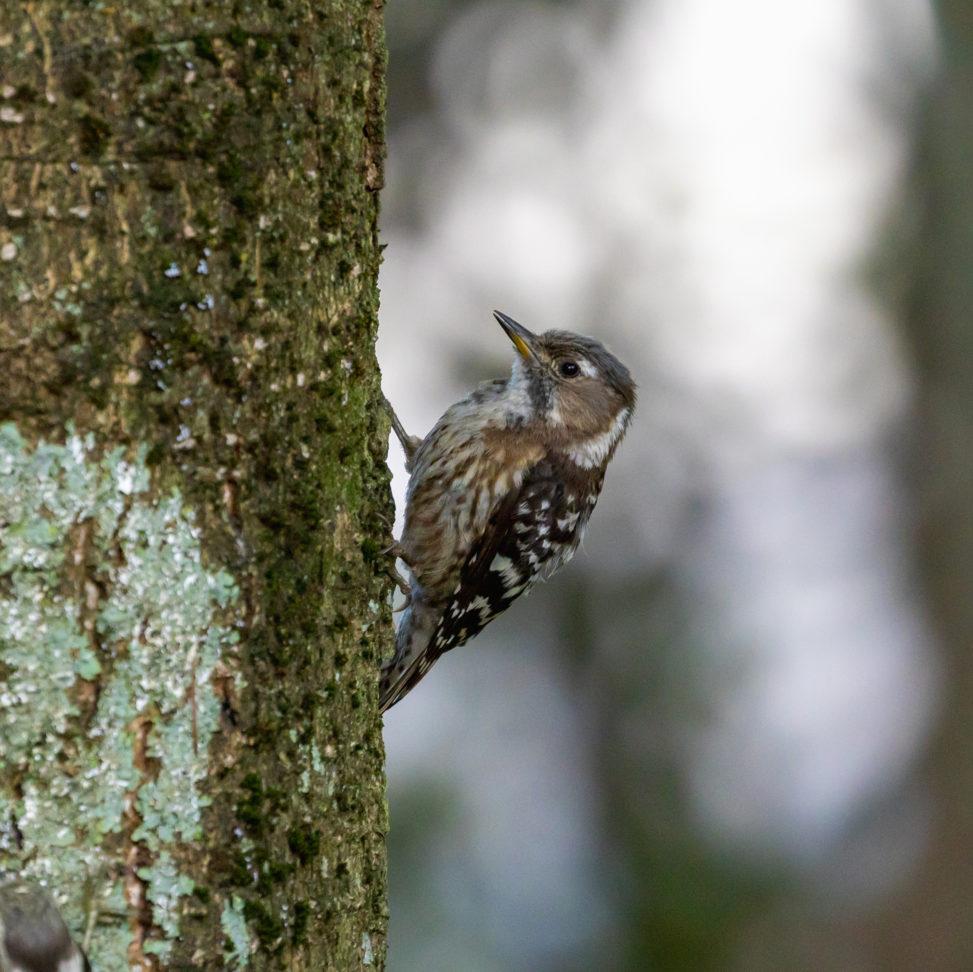 コゲラの幼鳥のフリー写真素材