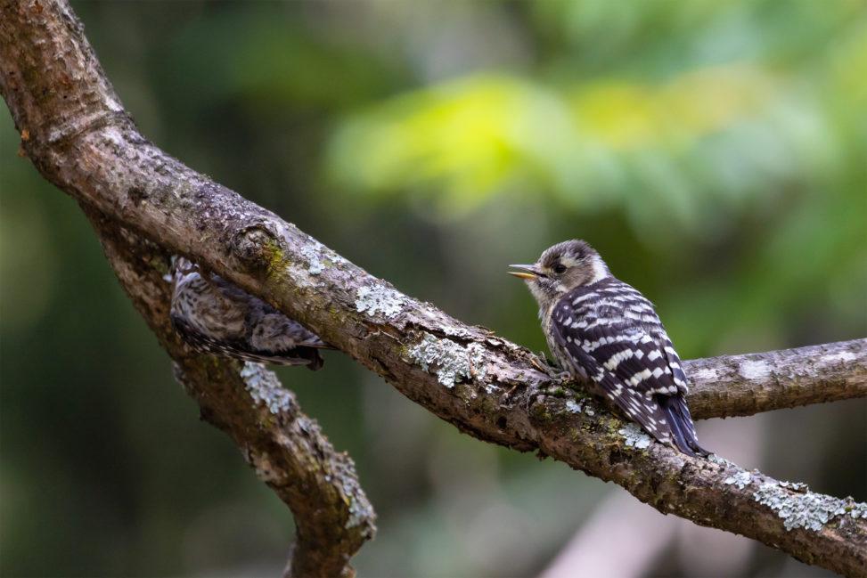 枝にとまっているコゲラの幼鳥のフリー写真素材