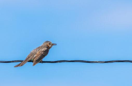 電線にとまるヒヨドリの幼鳥のフリー写真素材