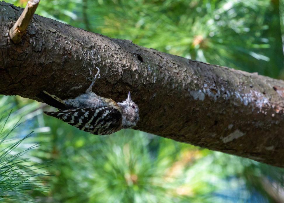 枝につかまっているコゲラの幼鳥のフリー写真素材