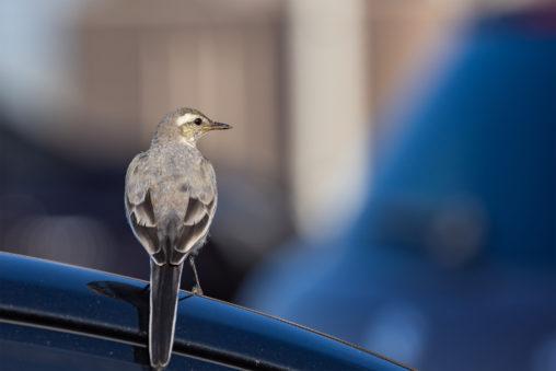 車の上にとまるハクセキレイの幼鳥のフリー写真素材