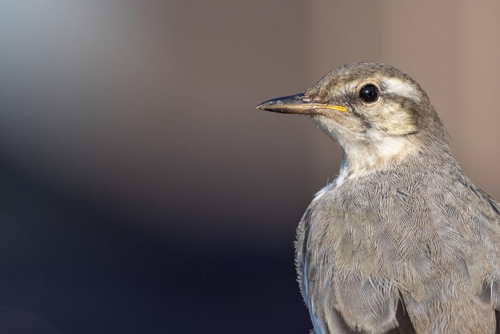 ハクセキレイの幼鳥(アップ)のフリー写真素材