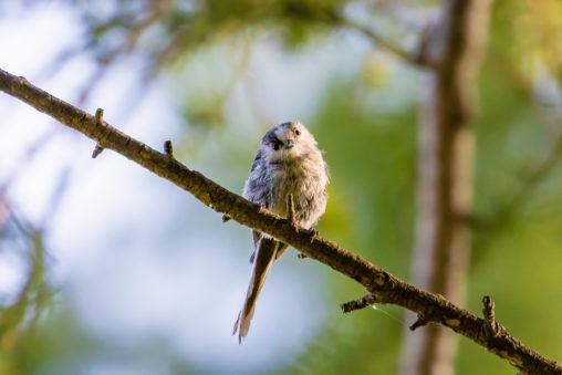 正面を向いているエナガの幼鳥のフリー写真素材