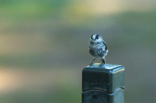 エナガの幼鳥のフリー写真素材