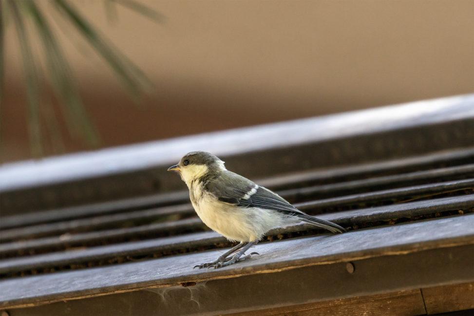 屋根にいるシジュウカラの幼鳥