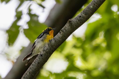 枝にとまっているキビタキの幼鳥