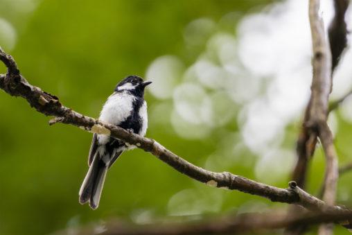 枝にとまっているシジュウカラの幼鳥03