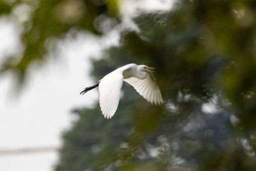 羽を広げて飛んでいるチュウサギ(シラサギ)の写真