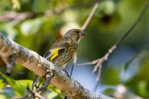 カワラヒワの幼鳥の写真