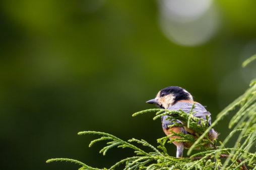緑の中のヤマガラの幼鳥の写真
