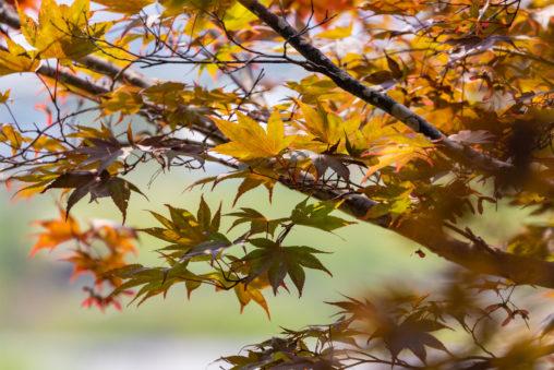 色づき始めた紅葉の写真