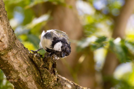 正面を向いているシジュウカラの幼鳥の写真