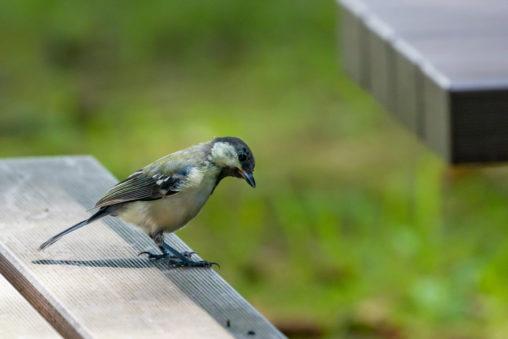 木のベンチにいるシジュウカラの幼鳥の写真