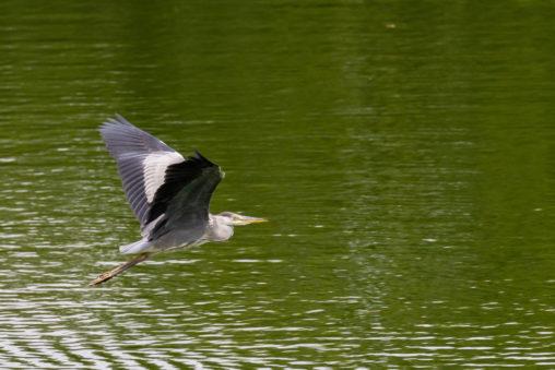 湖面を飛ぶアオサギの写真