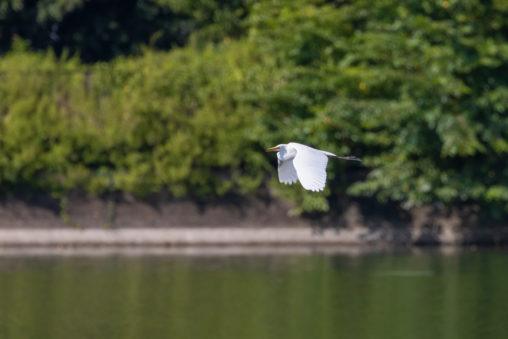 湖面の上を飛ぶチュウサギ(シラサギ)の写真