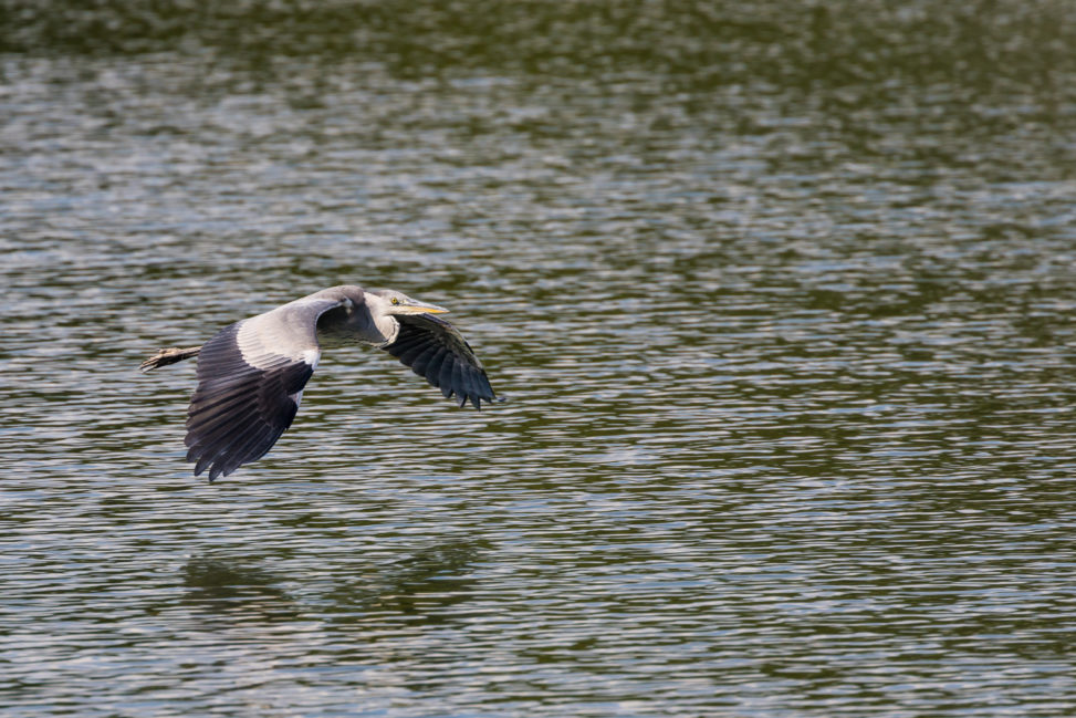 大きな翼で湖面の上を飛ぶアオサギの写真