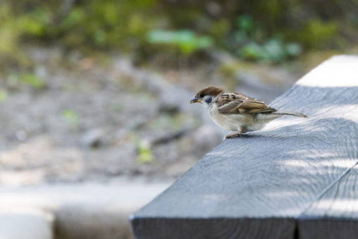 木のベンチとスズメ(雀)の写真