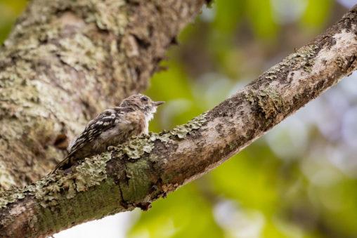 コゲラの幼鳥02の写真