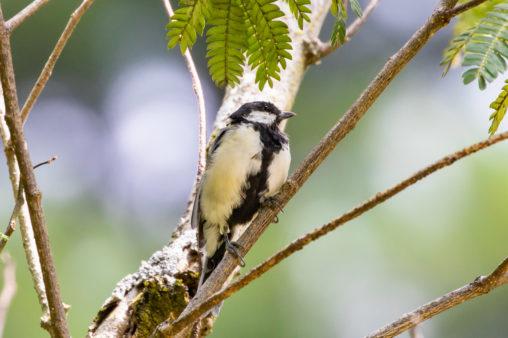 枝にとまっているシジュウカラの幼鳥04の写真