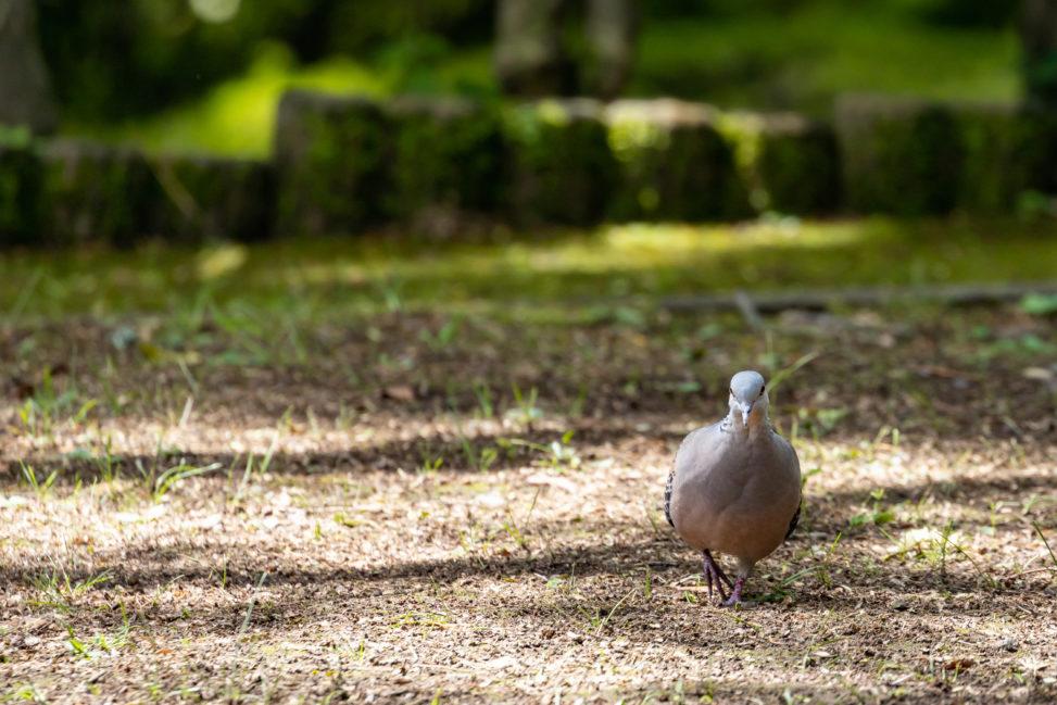 森の中にいるキジバト(ヤマバト)の写真