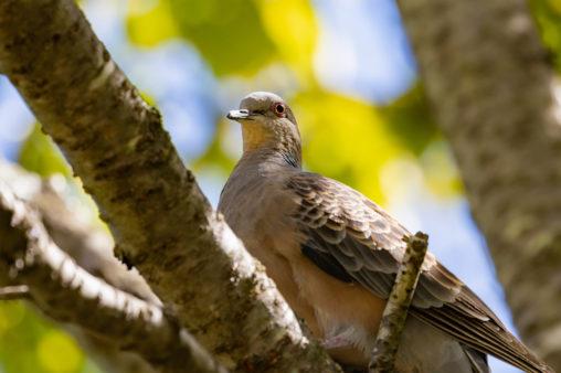 枝にとまっているキジバト(ヤマバト)の写真